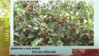 Photo of Naša sela: Problemi sa preradom višnje