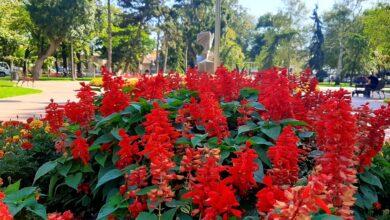 Photo of Nove sadnice cveća i ukrasnog šiblja uskoro će ulepšati centar grada