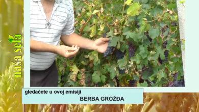 Photo of Naša sela: Izbor pravog trenutka za berbu grožđa