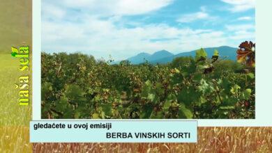 Photo of Naša sela: Kasna berba grožđa