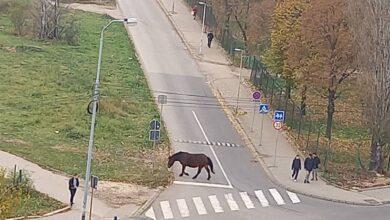 Photo of Konji ŠETALI ulicom Aleksandra Medvedeva. Policija intervenisala (FOTO+VIDEO)