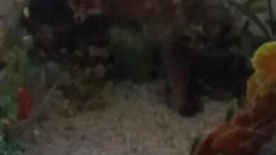 Photo of Lisica ušetala do četvrtog sprata zgrade u Dušniku i preplašila stanarku