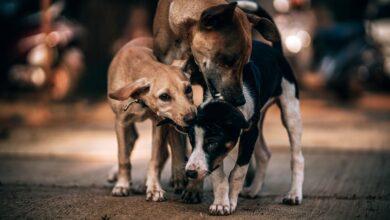 Psi lutalice